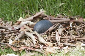 Australian Emu Egg