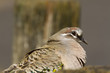 Common Bronzewing, Melbourne, Australia