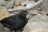 Juvenile White-Winged Chough, Victoria, Australia