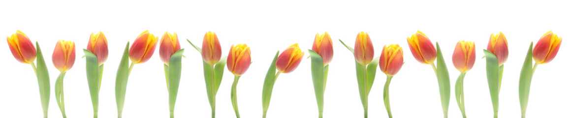 Banner - Red and Yellow Tulips