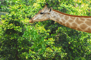 Young adult giraffe eating leaves