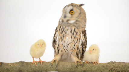 bird owl with newborn chickens isolated on a white background