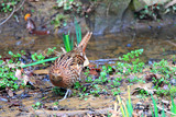 Copper Pheasant (Syrmaticus soemmerringii) female in Japan