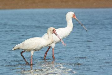 Two African Spoonbills with water dripping from their bills