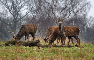 Red Stag Deer  in an English Park