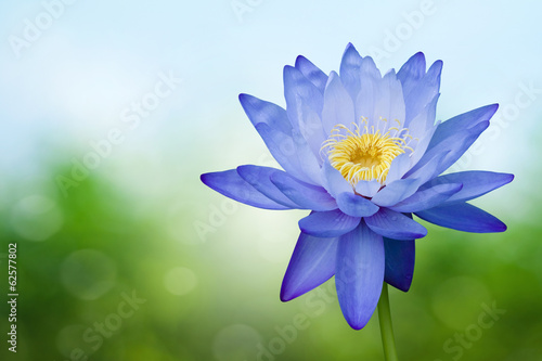 Blue lotus on spring background