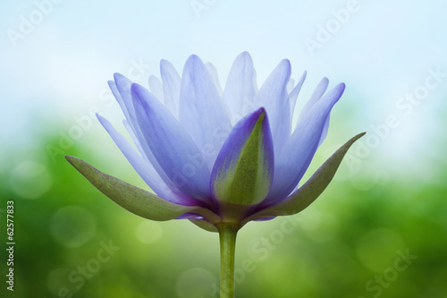 Canvas Lotusbloem Blue lotus on spring background