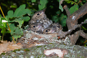 Baby birds (Spotted flycatcher) at their nest on a tree branch