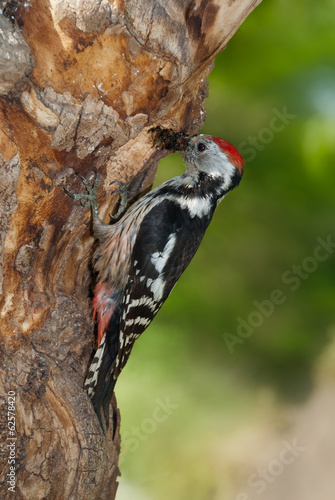 Middle spotted woodpecker bringing insects prey to the nest