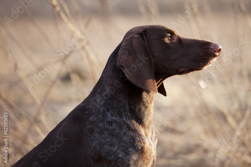 Hunting dog sits and stares into the distance