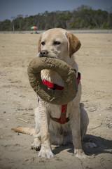 Labrador al mare