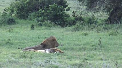 2 lions