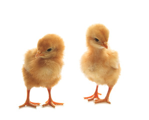 two of little yellow kid chick standing on white background  use