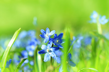 Beautiful, blue, spring scilla flowers