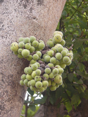 Cluster Fig Fruits, Ficus Racemosa