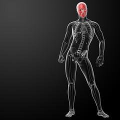 3d render human skull anatomy - front view