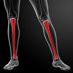 3d render human tibia - front view