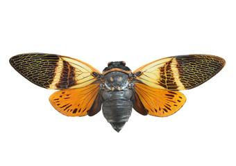 Cicada Macro Isolated On White Background
