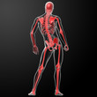 3d render skeleton by X-rays in red - front view