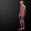3d render skeleton by X-rays in red - side view