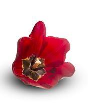 Ouvrir fleur d'une tulipe rouge cultivar