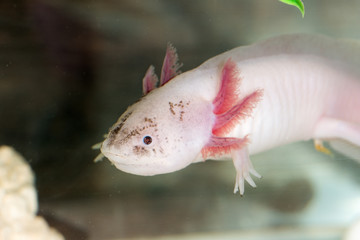 portrait of axolotl