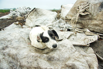 The stray dog ​​at dump
