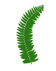Beautiful fern leaves isolated on white background.