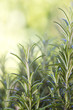 fresh rosemary (rosmarinus officinalis)