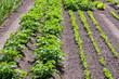 Vegetable garden with potato plants