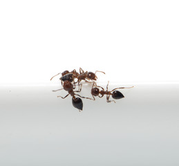 ant on a white background. macro
