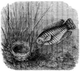 A Fish : Gourami and his Nest