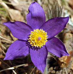 Spring flowers of Pulsatilla (pasque flower)