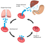 Respiration Cycle Blood