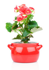 Flower blooming in a pot, red begonia