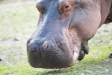 Head of a Hippopotamus