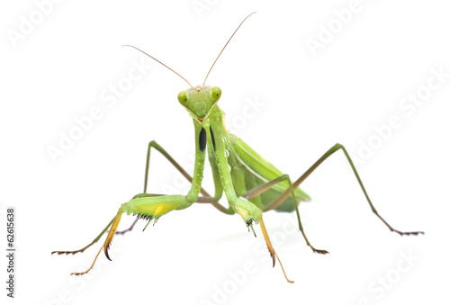 Grasshopper on white background