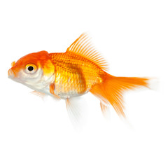 Close up of swimming yellow fish, isolated on white