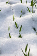 Spring green grass covered with fresh snow