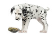 Dalmatian puppy, looking down at a turtle on its back