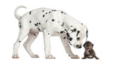 Side view of a Dalmatian puppy sniffing a kitten meowing poster