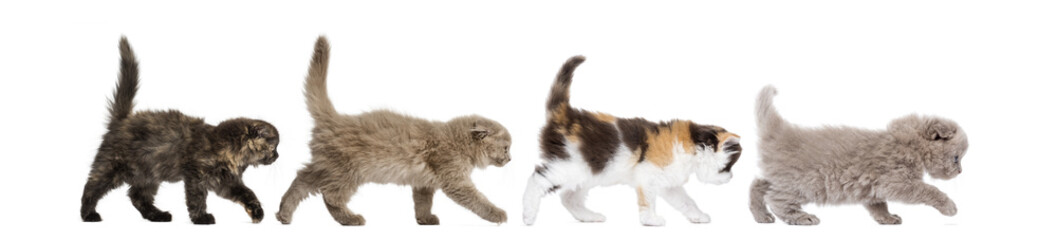 Side view of Highland fold kittens walking in line