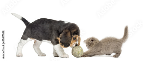 Beagle puppy and Highland fold kitten playing with a ball