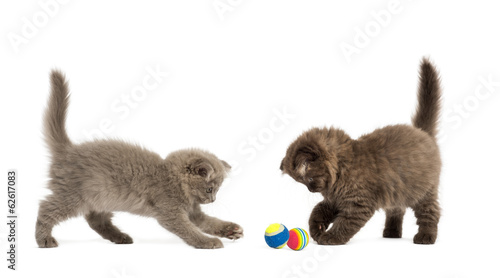 Highland fold kittens playing together with balls