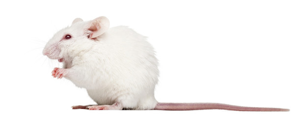 Side view of an albino white mouse sitting, Mus musculus