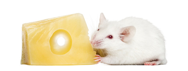 Common house mouse eating cheese, Mus musculus