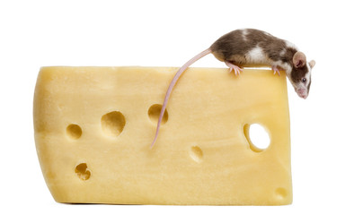 Common house mouse perched on top of a big piece of cheese