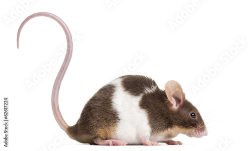 Side view of a Common house mouse, Mus musculus