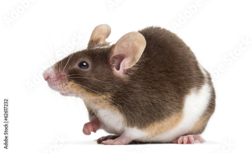 Common house mouse, Mus musculus, isolated on white