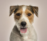 Close-up of a Parson russel terrier panting, looking at the came - 62617400